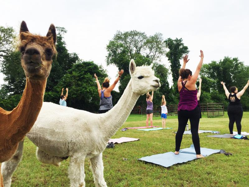 Alpacas watching the yoga practitioners at Hill Crest Farms at their first-ever alpaca yoga event on June 29