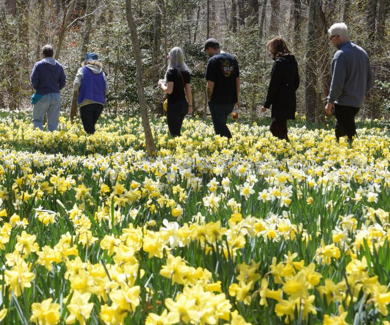 Dartmouth Week - Dartmouth, MA news - DNRT's daffodil field is part of its Parsons Reserve and a major attraction every spring. Photo by: Douglas McCulloch