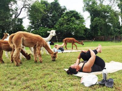 alpaca yoga at Hill Crest Farms in North Dartmouth