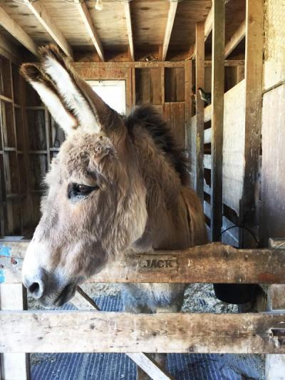 Jack the donkey at Alderbrook Farm. The animals will stay after the farm stand closes.