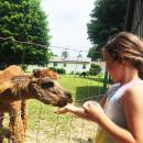 Delia Desmarais, 8, feeds a male alpaca in another field